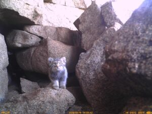 Status, ecology and conservation of Pallas's Cat in Mongolia outside protected areas