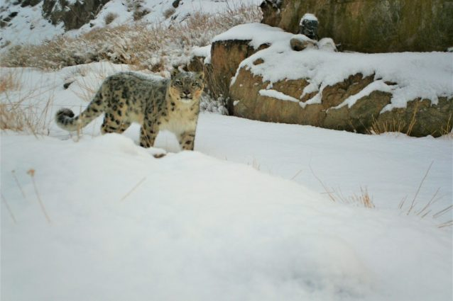 """An Italian in Mongolia studying the snow leopard: """"this is the way herders and predators can coexist"""""""