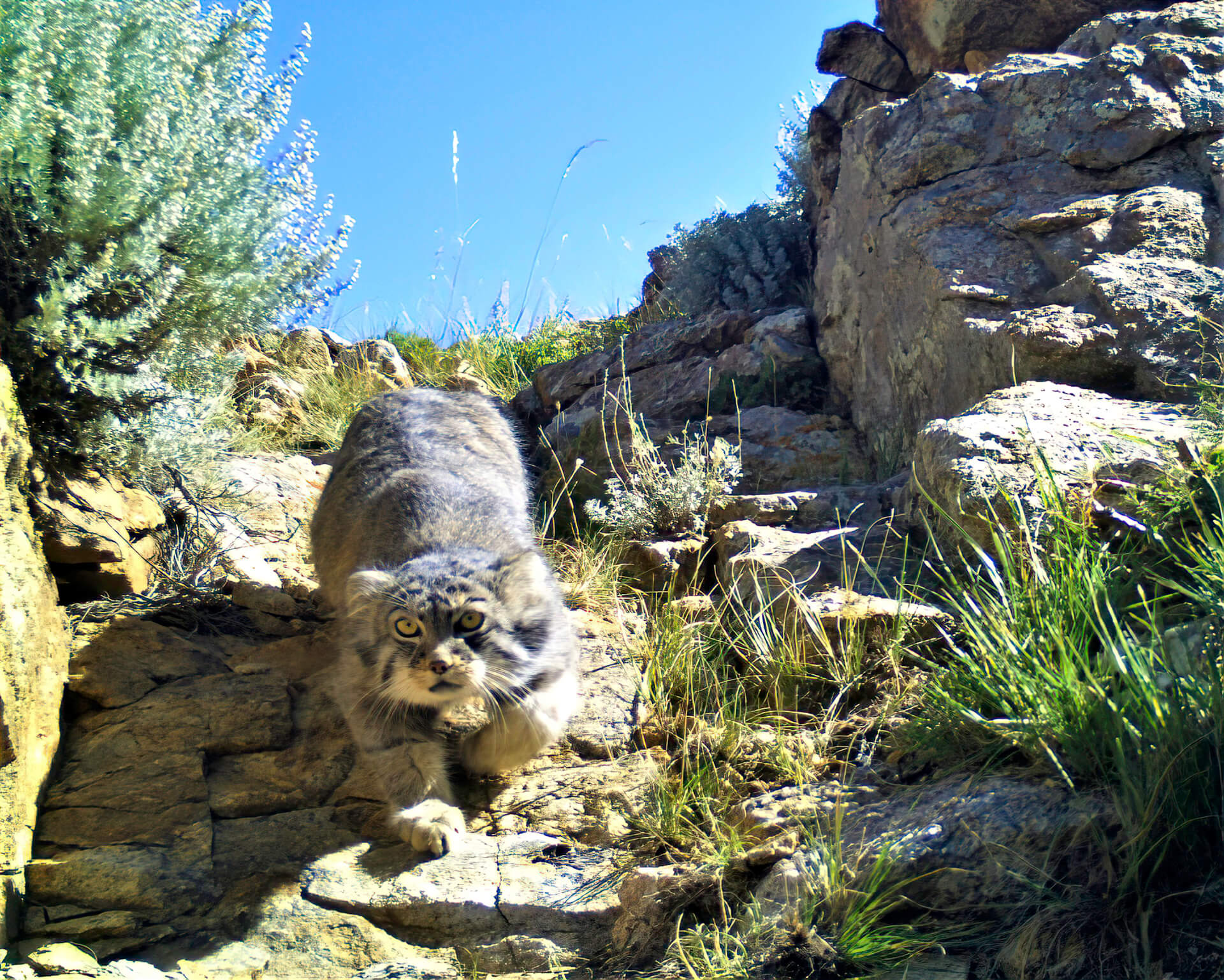 The Pallas's cat, a threatened species: a team of Italian researchers working to save it