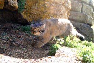 Pallas's cat, who is the Mongolian (wild) cat