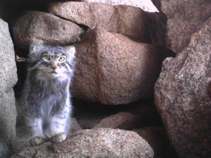 Pallas's cat, an Italian team of researchers is saving it in Mongolia