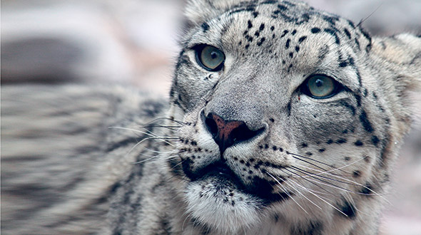 On the snow leopard tracks