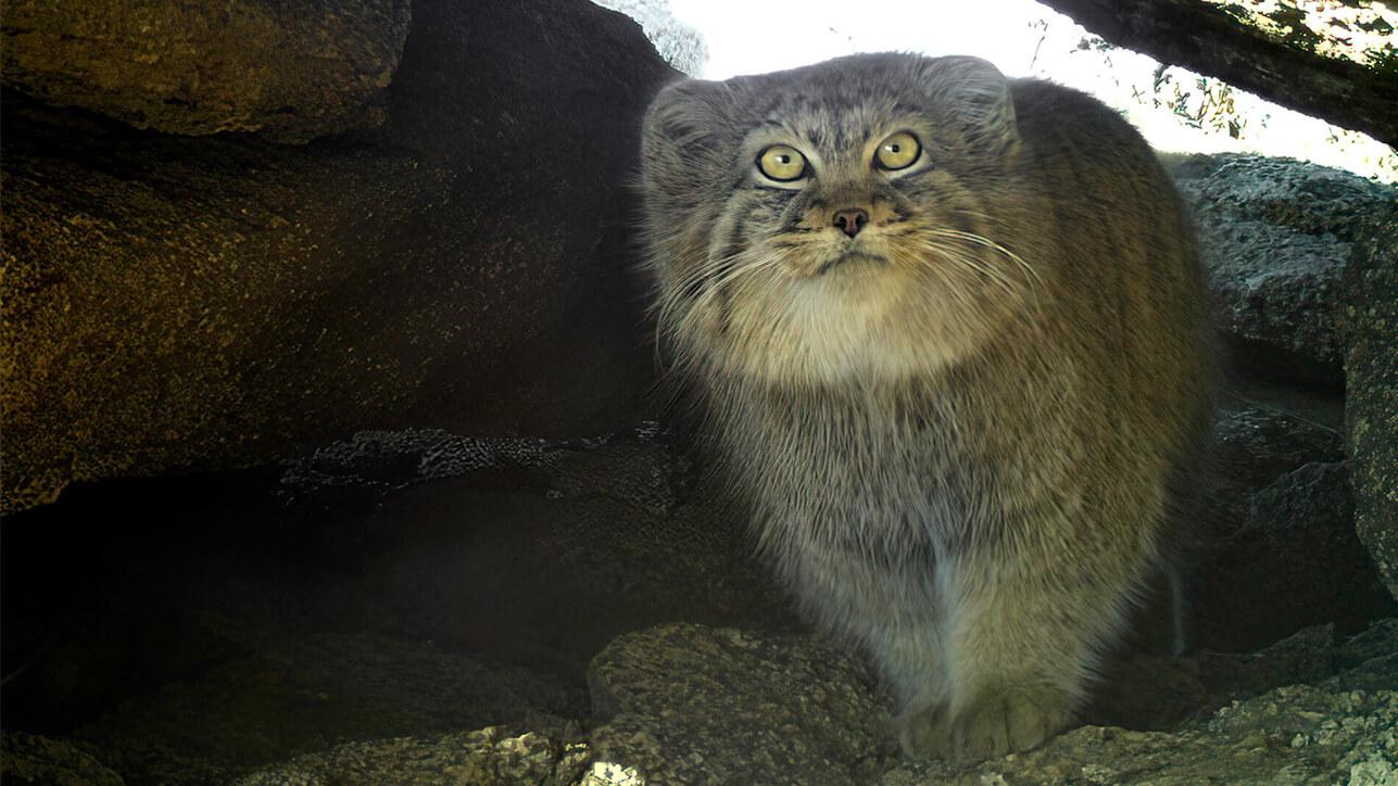 Pallas's Cat Wildlife Initiative