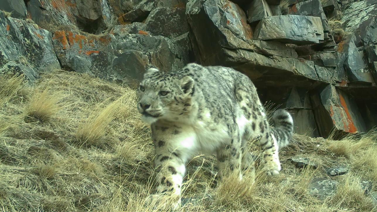 Snow Leopard Wildlife Initiative